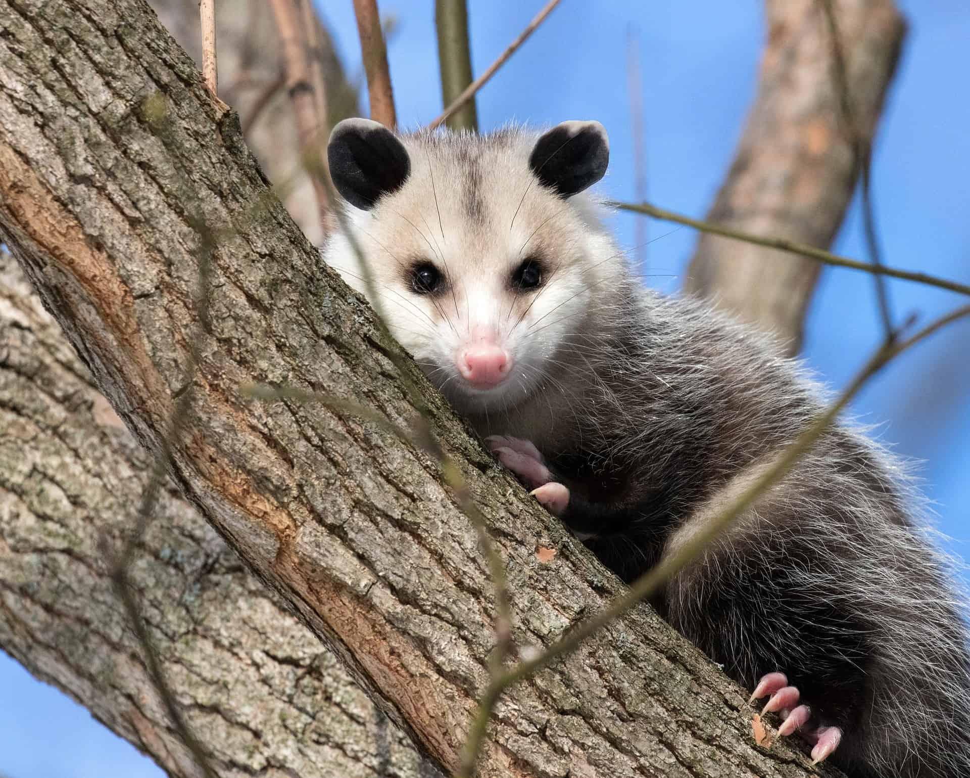 opossum-3933041_1920