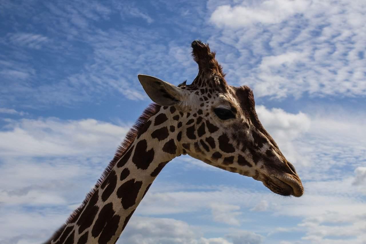 giraffe-818953_1280