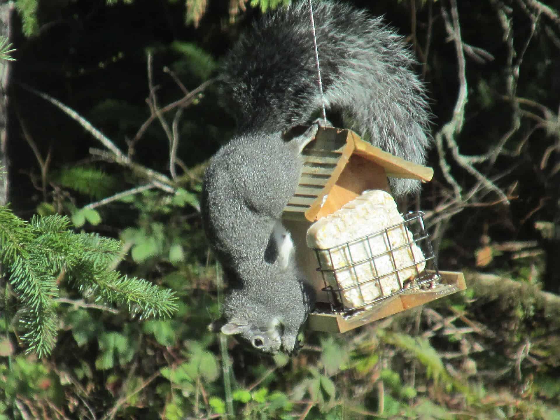 squirrel-2429059_1920